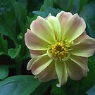 Dahlia by TheCandle