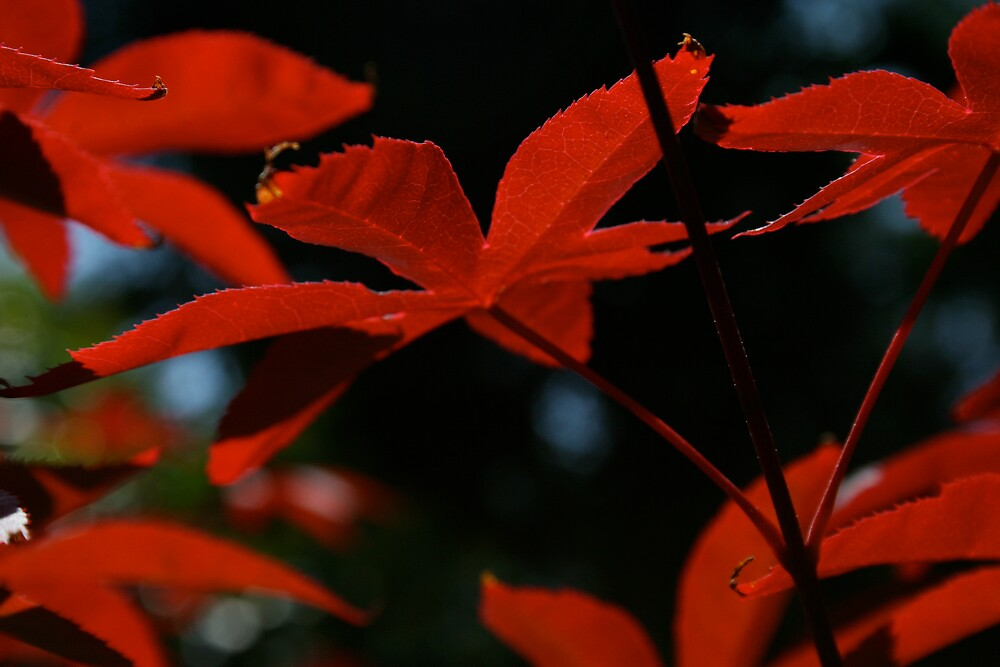 Red Maple by CherilynJoy