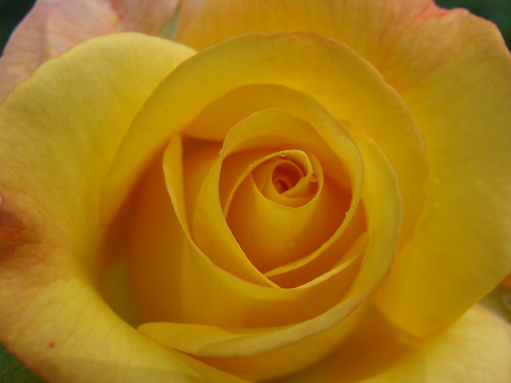 Yellow Rose by Cajunbrn67