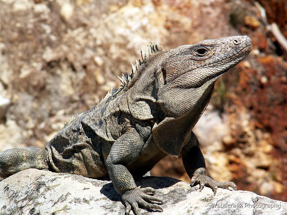 Iguana by Jocelyne Phillips
