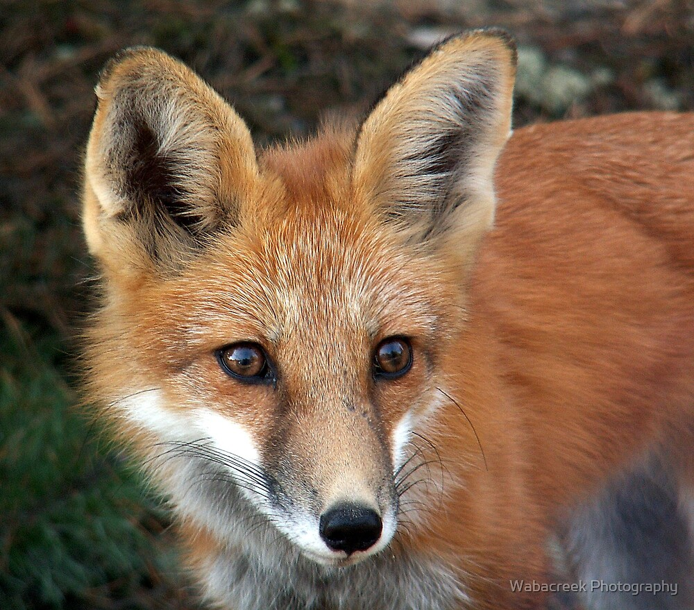 Red Fox by Jocelyne Phillips