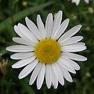 Daisy, daisy by Maureen Brittain