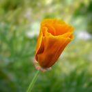 Kalifornischer Mohnknospe (Eschscholzia californica) von Celeste Mookherjee