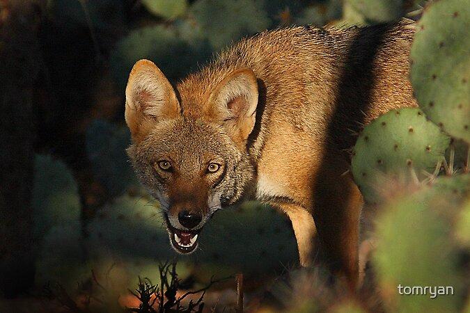 Coyote by tomryan