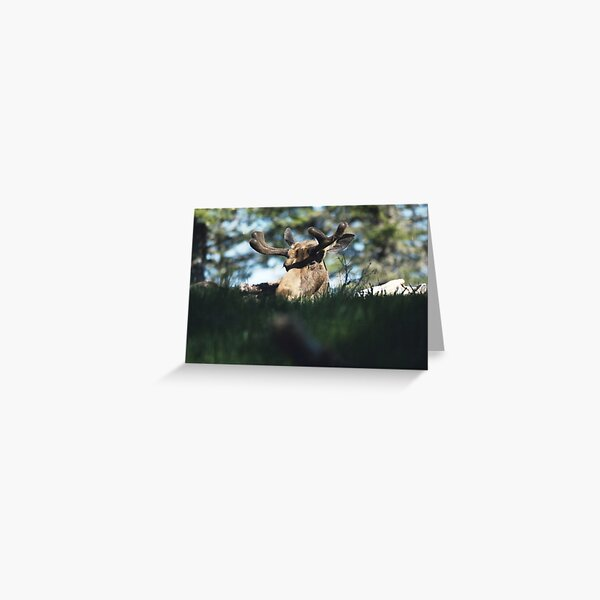 Newfoundland Moose Greeting Card