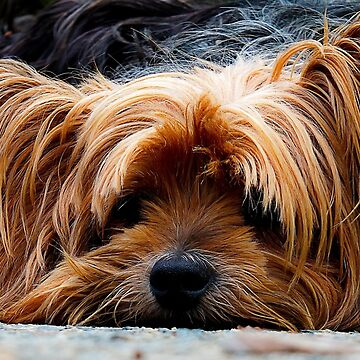 Yorkshire Terrier by EdmondHoggeJr