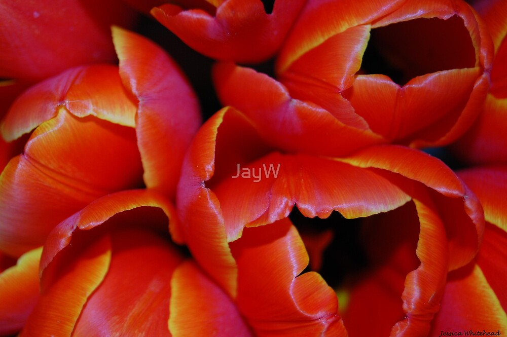 Tulips 0.3 by JayW