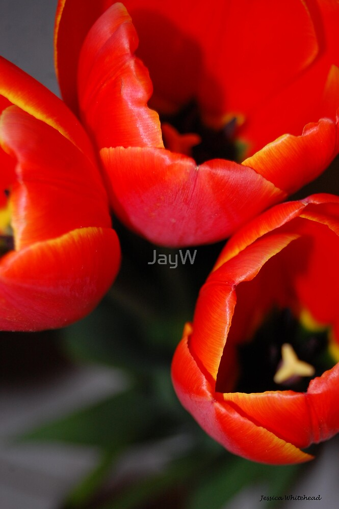 Tulips 0.4 by JayW