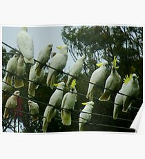 Cockatoos on a Wire Poster