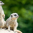 Meerkats on Guard by llemmacs