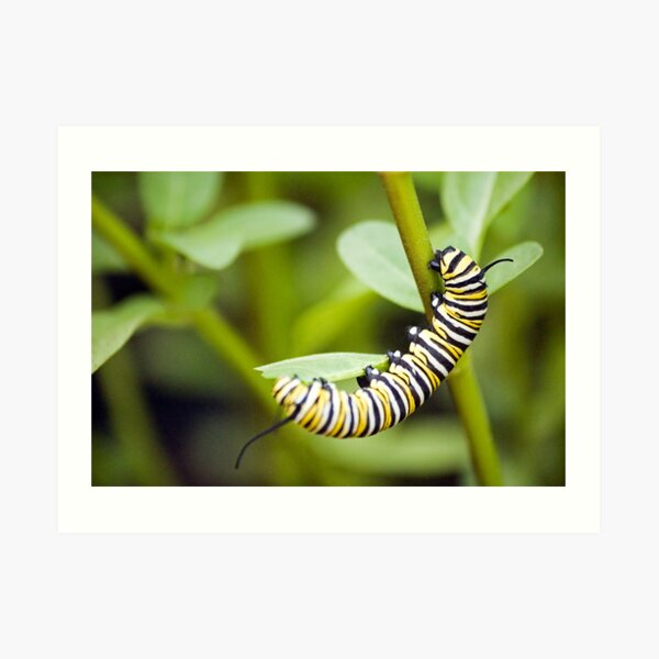 Striped Caterpillar Art Print