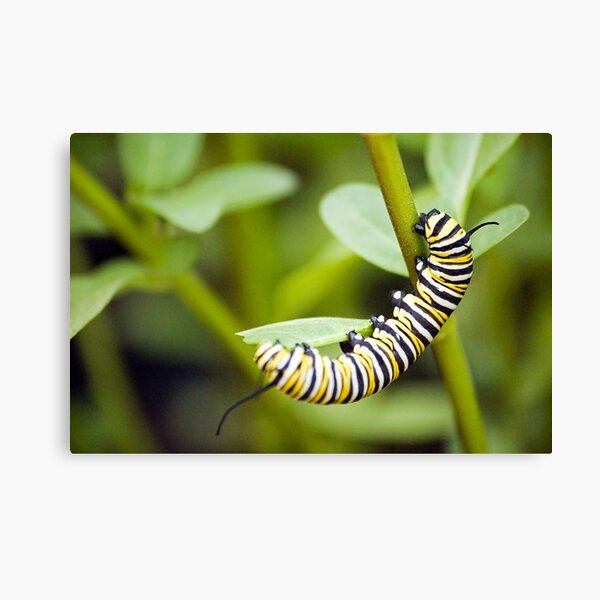 Striped Caterpillar Canvas Print
