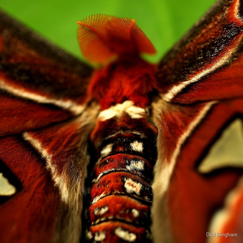 Atlas Moth by Damienne Bingham