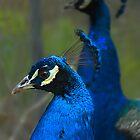 Peacock by Damienne Bingham