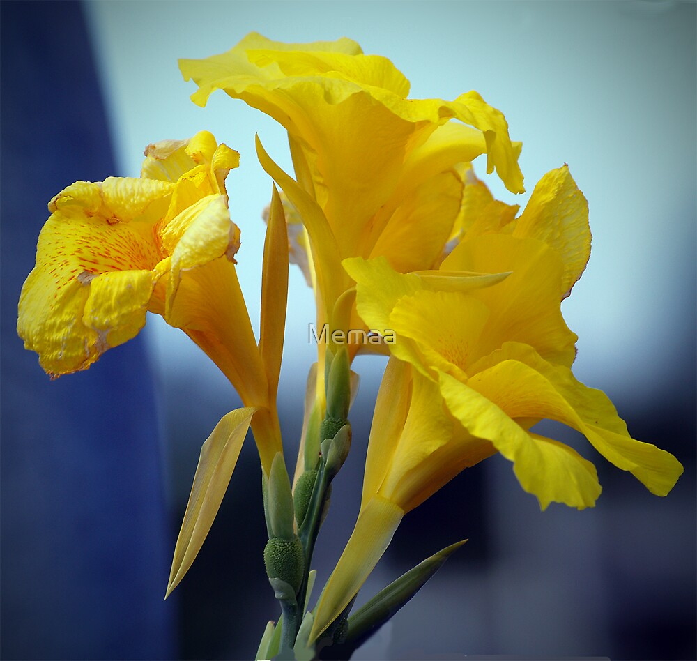 Yellow Canna Lily by Memaa