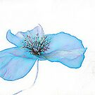 POPPY IS  FEELING BLUE  ( From Painted Flowers collection )  by EvaMarIza
