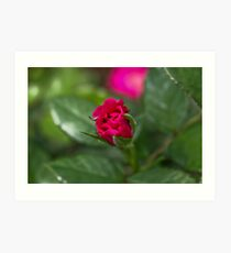 Pink Rose Bud Art Print
