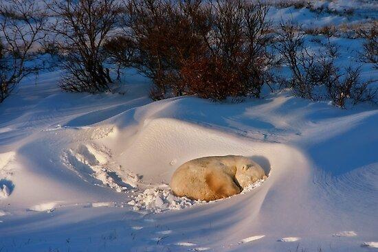 Yoga Bear savasana by Owed To Nature