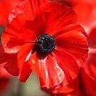Beautiful Red Ranunculus Flowers by Joy Watson