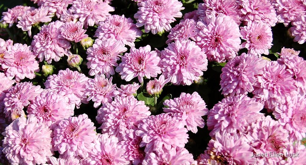 Field of Pink Marigolds by Janet Ellen Lusk