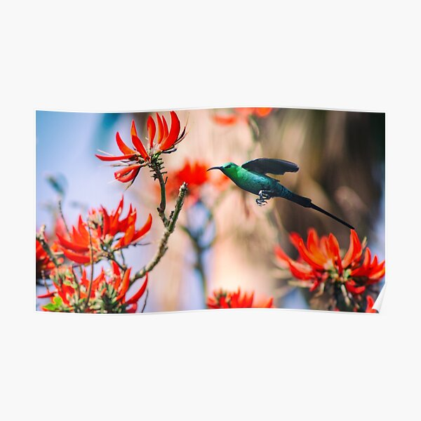 Malachite Sunbird In Flight Poster