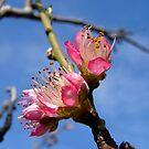 Blossom 2 by Northcote Community  Gardens