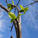 Persimmon's new leaves by Northcote Community  Gardens