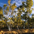 Gum trees in late afternoon light by Wayne England