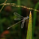 Blue eyed Damsel Fly by SWEEPER