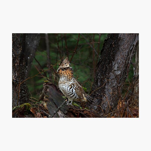 Ruffed Grouse - Algonquin Park, Canada Photographic Print