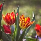 Red and Yellow Tulips by yolanda