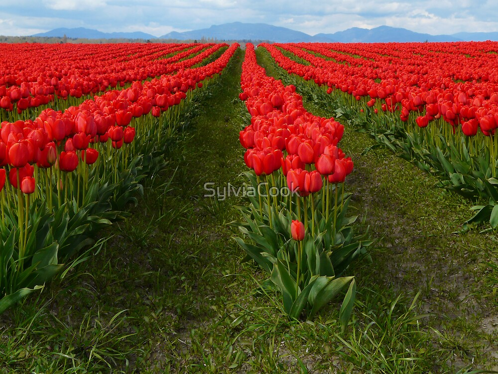 Rows of red by SylviaCook