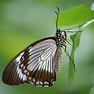Mocker Swallowtail by Jeff VanDyke