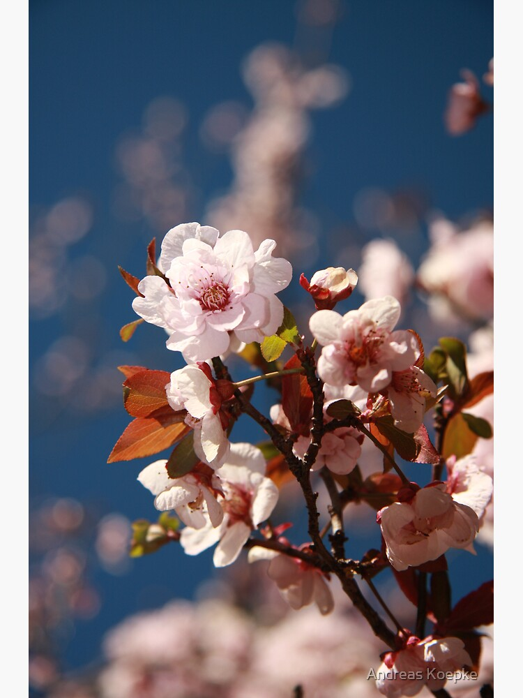 Almond blossoms by mistered