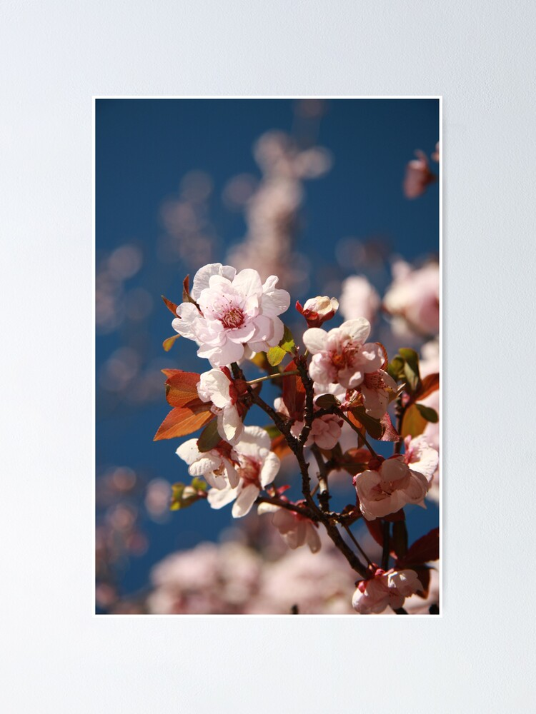 Alternate view of Almond blossoms Poster