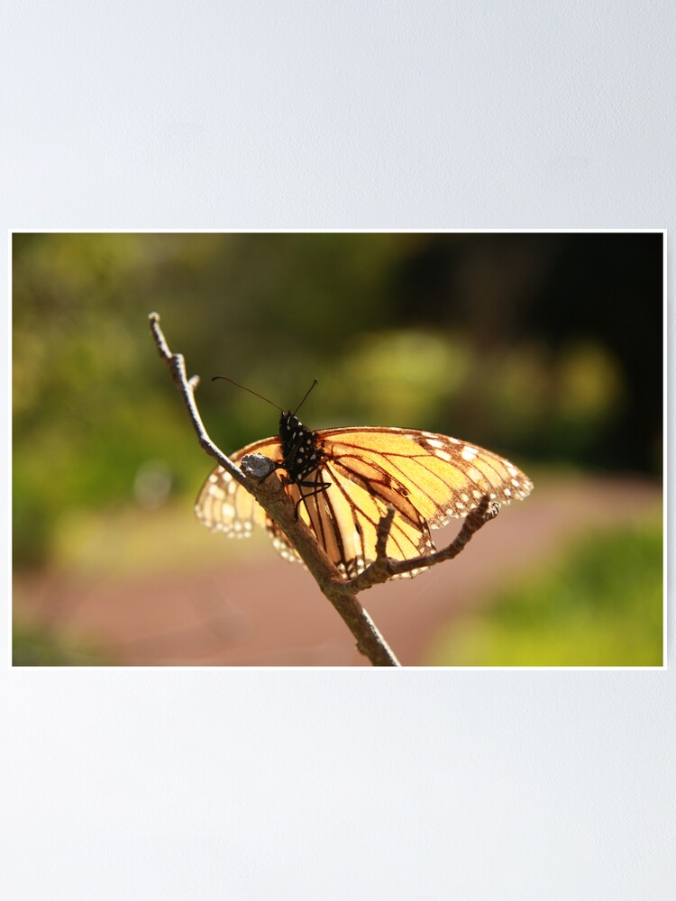 Alternate view of Butterfly at Araluen Poster