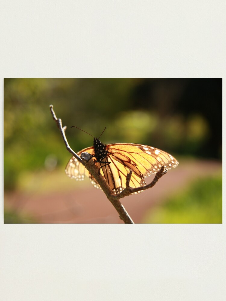 Alternate view of Butterfly at Araluen Photographic Print