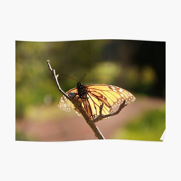Butterfly at Araluen Poster
