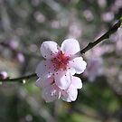 Almond blossom by Andreas Koepke