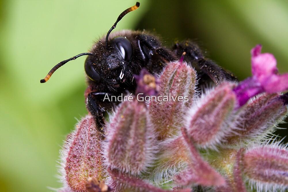 Carpenter Bee by André Gonçalves