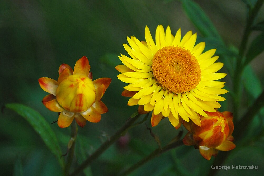 Golden Everlasting Daisy by George Petrovsky