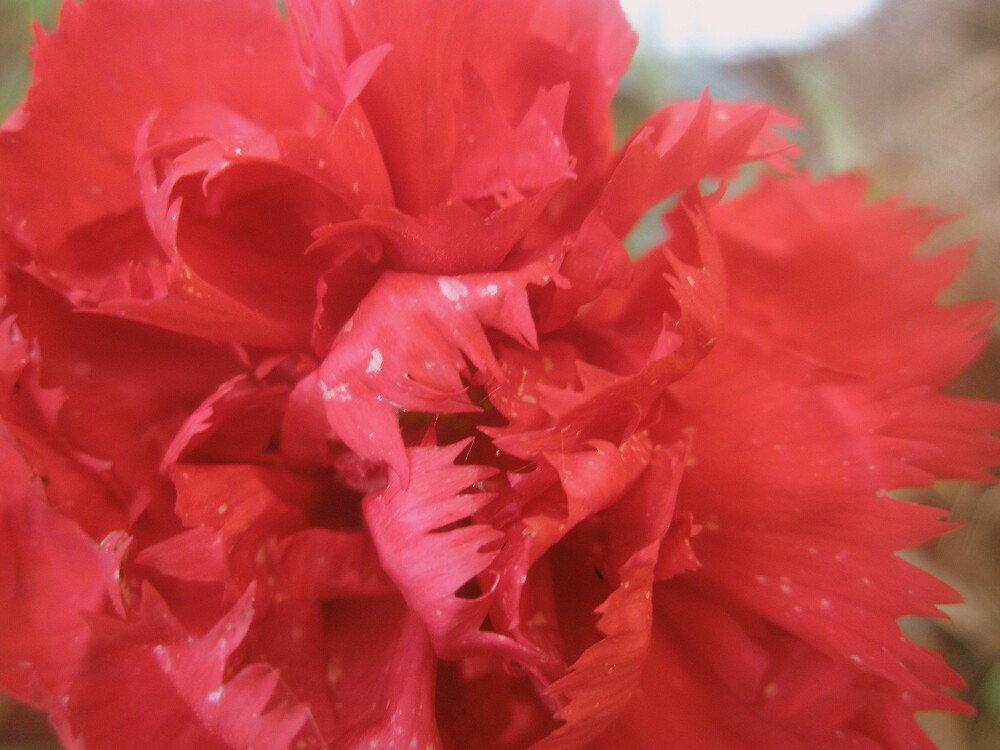 Red Carnation by Melissa Park