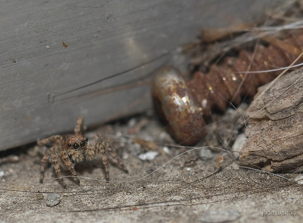 jumping spider on the dirty windowsill by jude walton