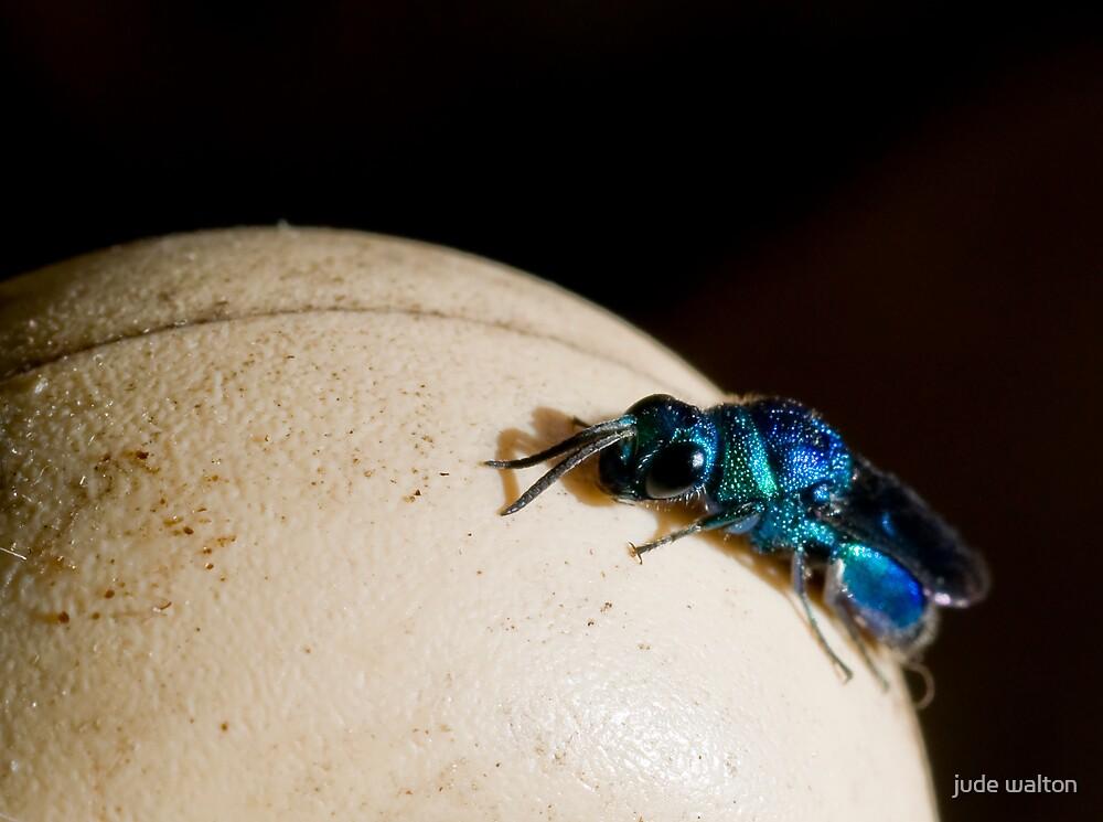 cuckoo wasp by jude walton
