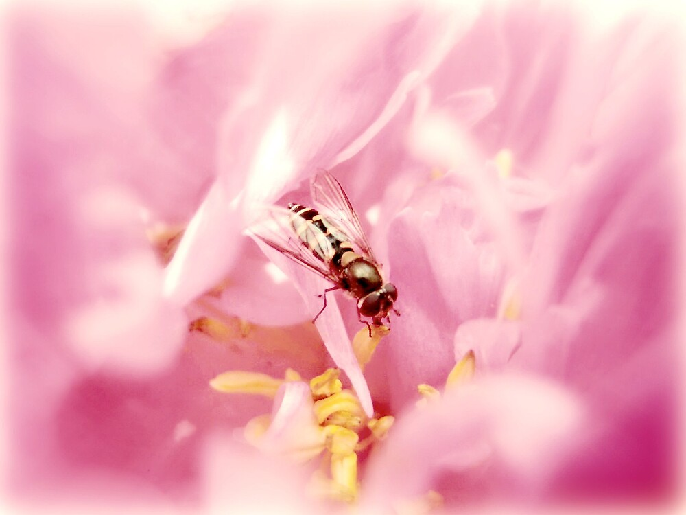 Pink beefly by Chris Caples