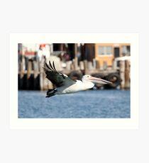 Australian Pelican 1 Art Print