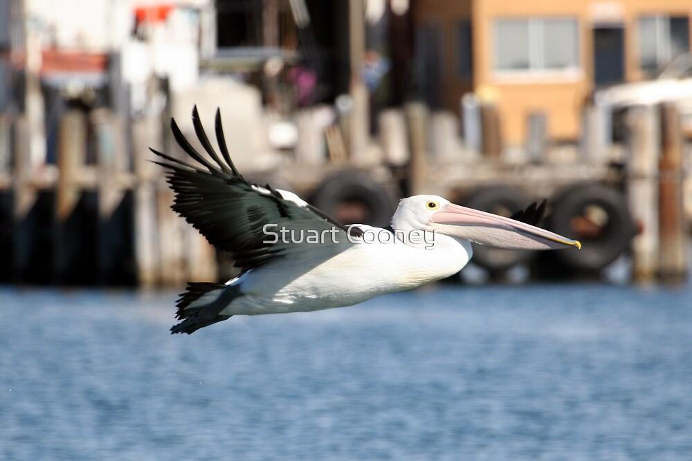 Australian Pelican 1 by Stuart Cooney