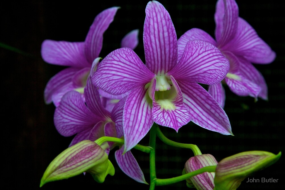 Captivating Orchid by John Butler