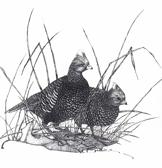 Black & White Quail by bajidoo