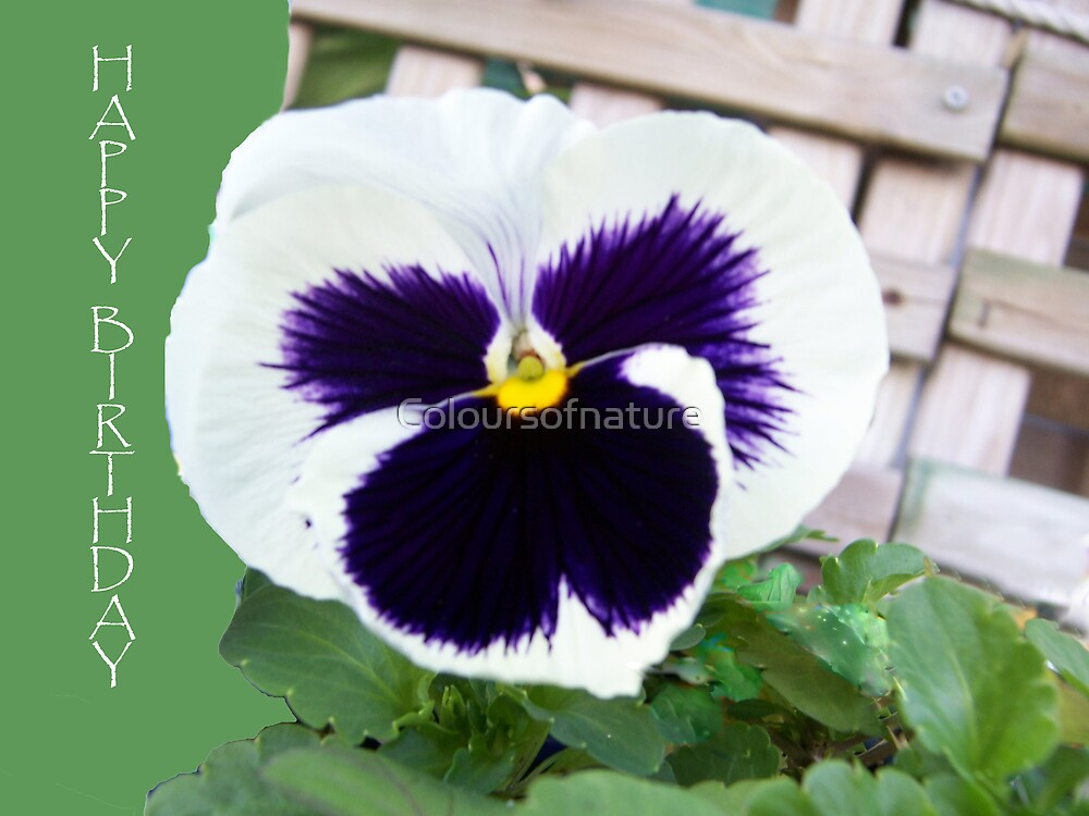 Pansy Card by Coloursofnature